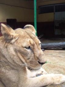 Lion Park, Addis Ababa