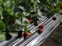 Strawberries in the Larache area