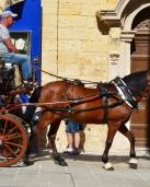 Horse and buggy in Malta